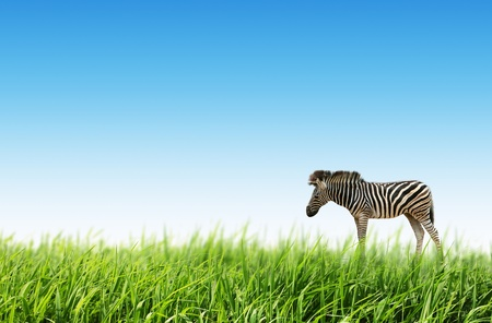 Zebra in the fresh green grass and blue background photo