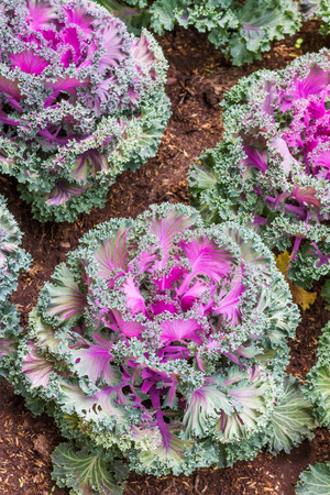 kale: whole kale - purple flower Stock Photo