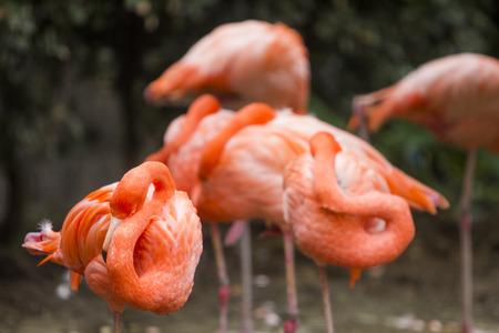 flamenco ave: p�jaro del flamenco en zool�gico