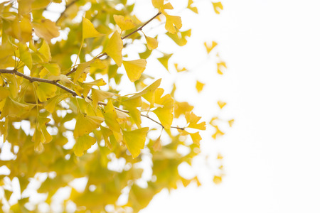 spectacular: Ginkgo leaves in spectacular autumn color