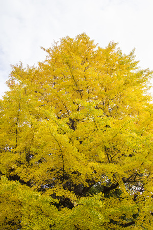 ginkgo: Ginkgo leaves in spectacular autumn color