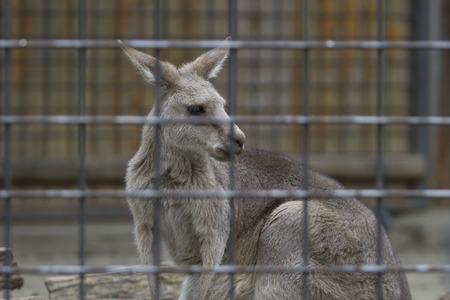 檻の中で若いカンガルー