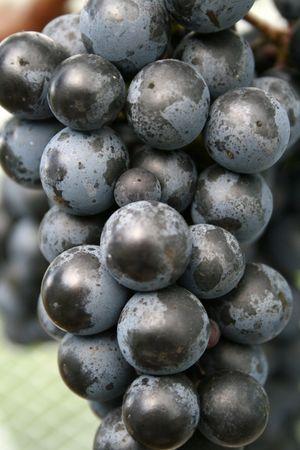 シラーのブドウの房 写真素材