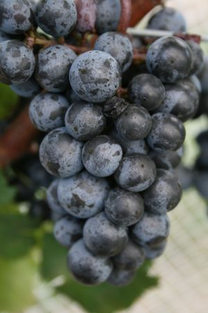 This is a bunch of red win grapes. syrah, shiraz, pinot noir Stock Photo - 2835581