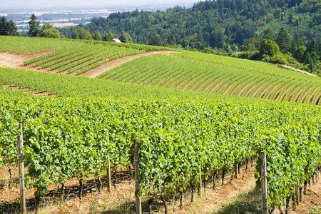 Ces vignes sont de plus en plus dans les collines dundee.  Banque d'images - 3401798