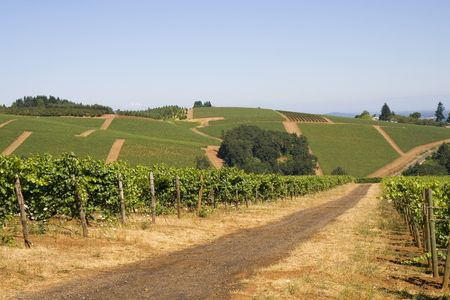 wine road: This is a Red Dirt Road Thru Winery on Dundee Hill Oregon Stock Photo