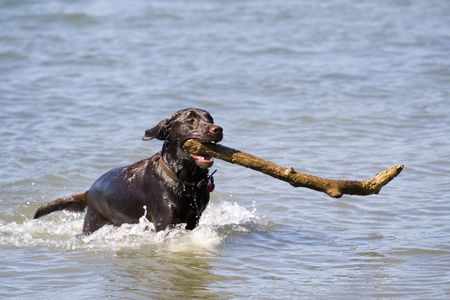 this is a Brown Labrador Retriever Running in Water with Large Stick