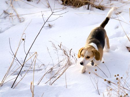 running nose: This is a Beagle Hunting a Rabbit in the snow