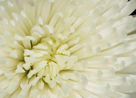 This is a White Dahlia Macro Detail photo