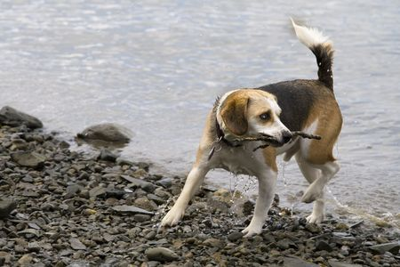 this is a beagle playing in the water Stock Photo - 5097837