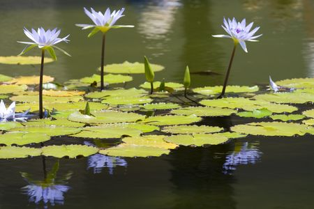 Lily Pond Stock Photo - 5097832
