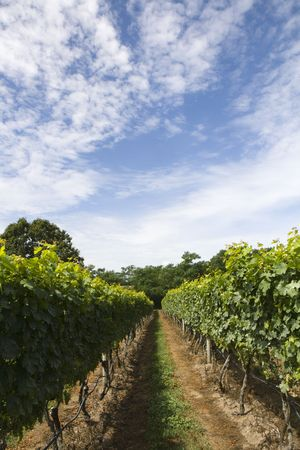 This is Vineyard Rows Stock Photo - 5503960