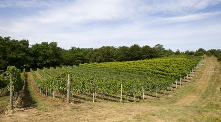 This is Vineyard Rows Stock Photo - 5503959