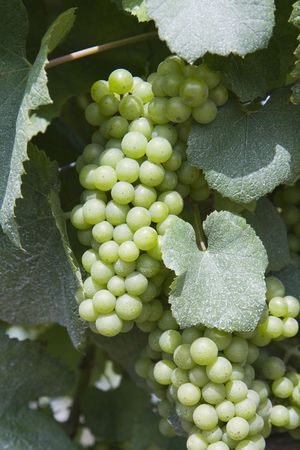 This is Green Grapes growing on the vine Stock Photo - 5536722