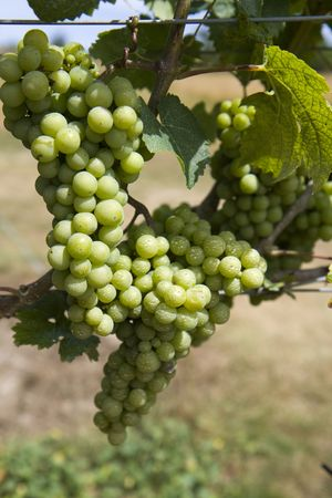 This is Green Grapes growing on the vine Stock Photo - 5536721