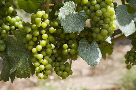 This is Green Grapes growing on the vine Stock Photo - 5536720