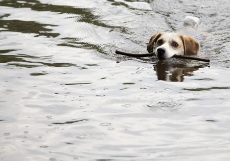 This is a Beagle Swimming Stock Photo - 7078337