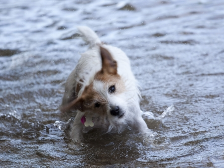This is a Rat Terrier Shaking the water off after swimming Stock Photo - 7355351