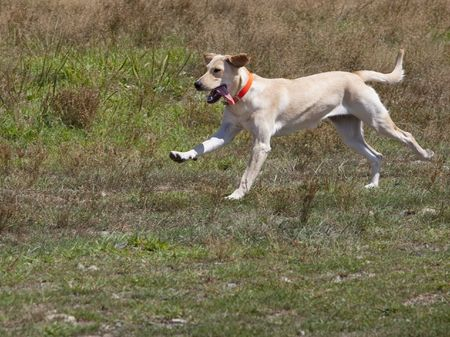 yellow: This is a Yellow Lab Running with tongue hanging Stock Photo