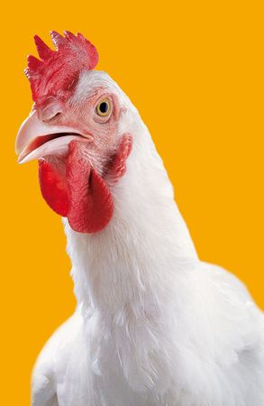 Studio portrait of a white chicken