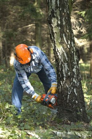 The lumberjack cutting the birch Stock Photo