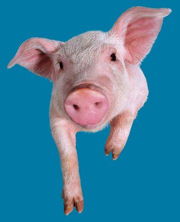 grunter: Young pig closeup