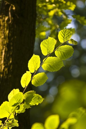The Branch of Hornbeam tree with the green leaves photo