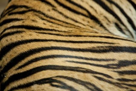 The Bengal tiger skin texture background Standard-Bild