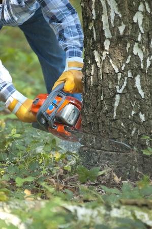 power saw: The lumberjack cutting the birch Stock Photo