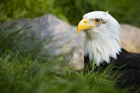 intent: The Bald Eagle w intent look and natural background