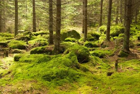 La selva virgen con el suelo musgoso Foto de archivo - 13084989