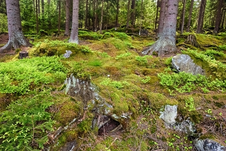 magical forest: The primeval forest with mossed ground