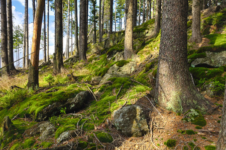 deciduous forest: The primeval forest with mossed ground