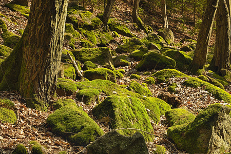 primeval forest: The primeval forest with mossed boulders