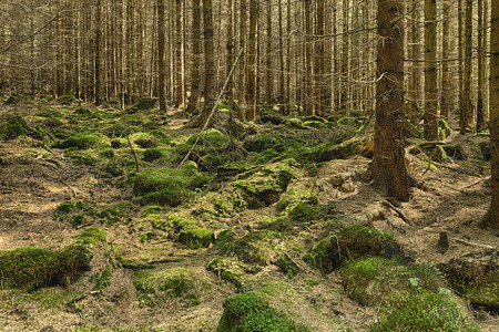 primeval forest: The primeval forest with mossed ground and boulders