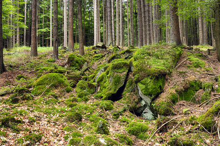 primeval forest: The primeval forest with mossed ground and boulders-HDR Stock Photo