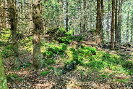 The primeval forest with mossed ground and old branches - HDR Reklamní fotografie - 140189507