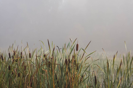 cattails in the morning mist on the lake