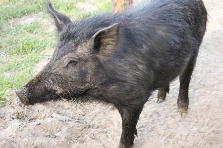 female wild boar on the eco farm