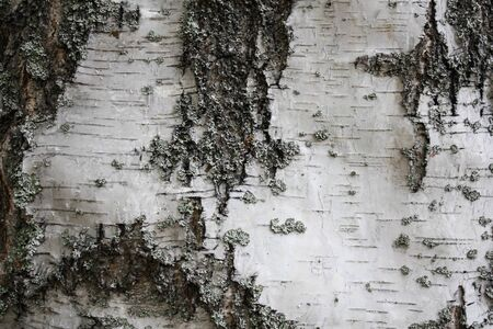 Natural birch bark texture, useful for background