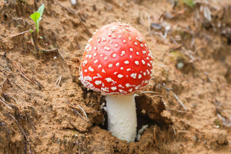 Amanita muscaria grows on a sandy slope, daylight