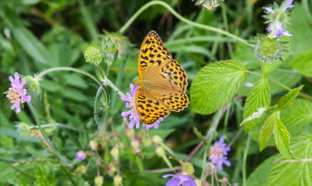 Rare silver washed fritillary on a purple flower 版權商用圖片