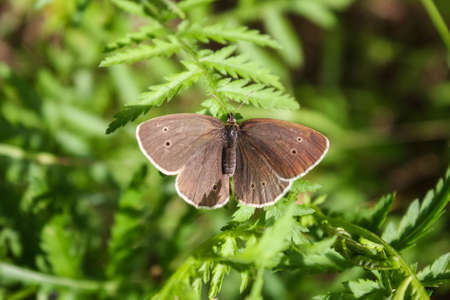 Aphantopus hyperantus beautiful butterfly on plant branches, ringlet insect sitting on leaves in sunlight