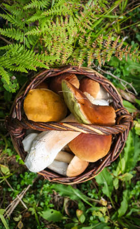 Round wicker basket with fresh porcini mushrooms in the autumn forest