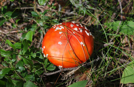 Amanita muscaria. Bright young red-orange fly agaric. The view from the top
