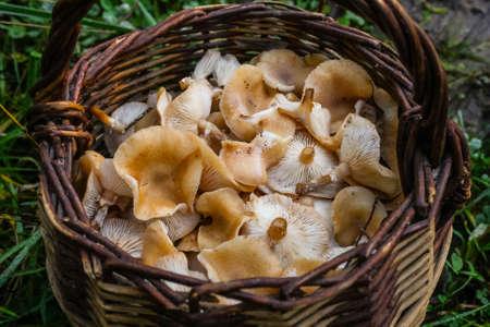 Honey Mushrooms Armillaria mellea, a wild and fresh cluster. Diffused lighting 版權商用圖片
