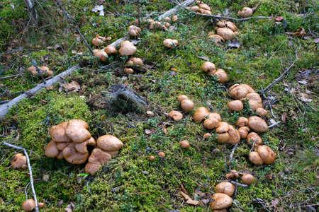 Bovinus mushroom (Suillus bovinus) in a pine forest in autumn