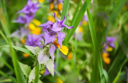 forest flower Melampyrum nemorosum. Nature composition. solar illumination