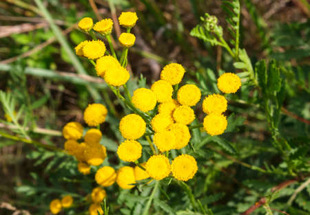 Tansy lat. Tanacetum yellow flower close up 版權商用圖片