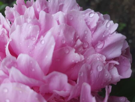 Peonies pink large flowers with water droplets